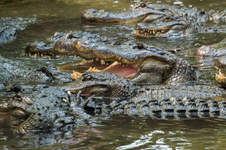 alligators: Group of Hungry Alligators Showing Teeth