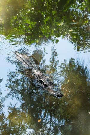 alligator eyes: Alligator in front of You