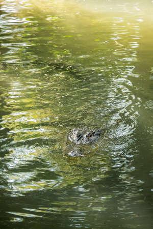 muggy: Alligator Swimming Toward You