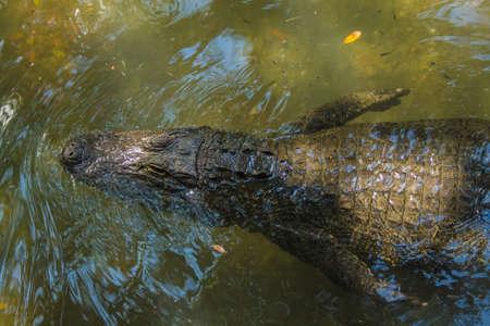 alligator eyes: Alligator Swimming By Stock Photo