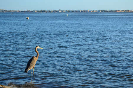 A Blue Heron looks out over the bay. Stock Photo