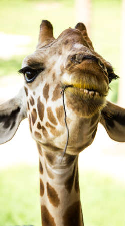 Smiling Giraff looking at you close-up face Stock Photo