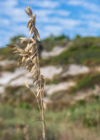Close-up of a Sea Oat with sand dunes in background