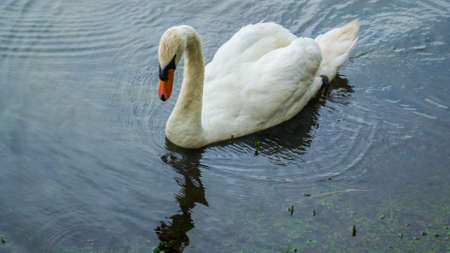 ugly duckling: Swan in the water