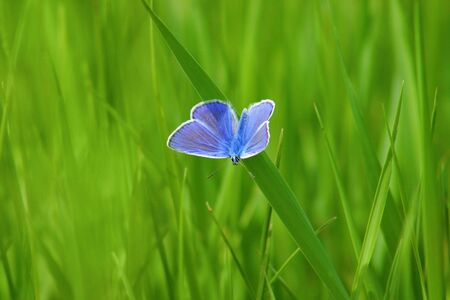 Beautiful blue butterfly on green herb,glade by springtime