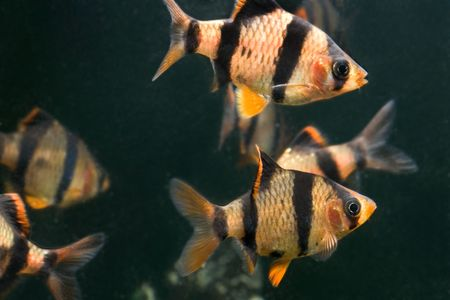 aquarium fish  Stock Photo - 5814719