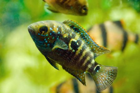 tetrazona: aquarium fish  Stock Photo
