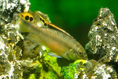 aquarium fish pelvicachromis Stock Photo - 5814720