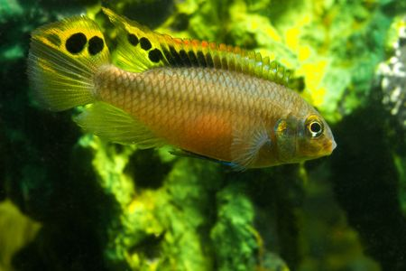 tetrazona: aquarium fish pelvicachromis