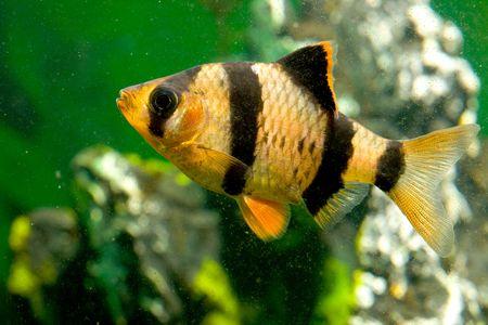aquarium vissen capoeta tetrazona  Stockfoto