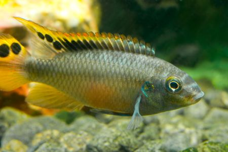 aquarium fish cichlidae Stock Photo - 5819846