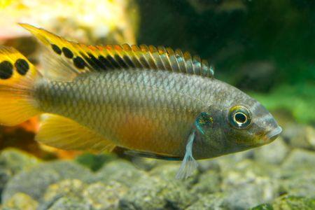 cichlidae: aquarium fish cichlidae Stock Photo