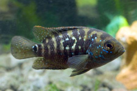tetrazona: aquarium fish cichlasoma Stock Photo