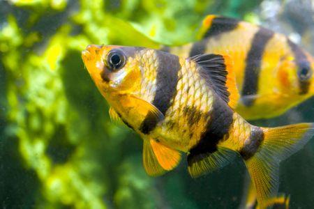 aquarium fish capoeta tetrazona Stock Photo - 5819841