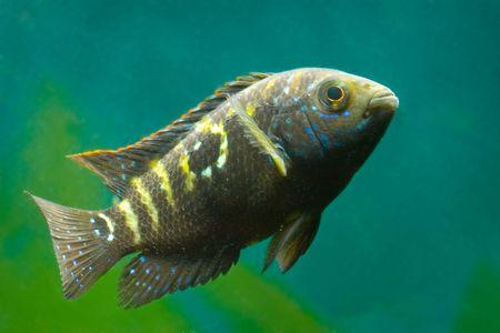 cichlasoma de peces de Acuario Foto de archivo - 5819843