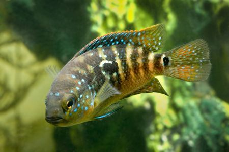 cichlasoma: aquarium fish cichlasoma Stock Photo