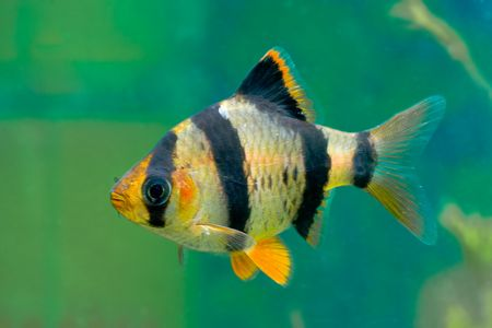 tetrazona: aquarium fish capoeta tetrazona