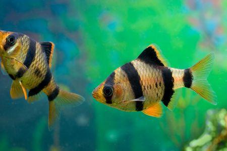aquarium fish capoeta tetrazona Stock Photo - 5819836