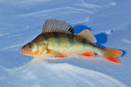 Fish perch on ice fihsing. photo