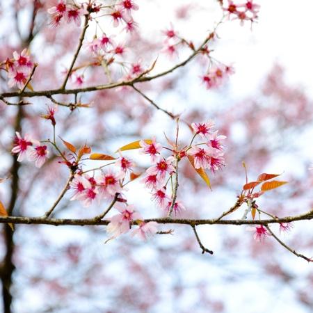 Wild Himalayan cherry photo