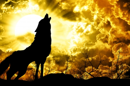 wolf howling at the sunset Stock Photo