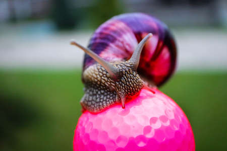 A big colorful snail sitting on the pink golf ball. Slow and lazy game play concept.