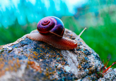 One snail on the natural background, macro view.  Big beautiful helix with spiral shell.