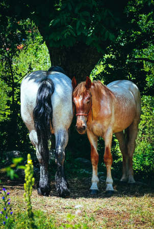 A couple of horses gazing at the green grass on a field under the tree, summertime. Stock Photo