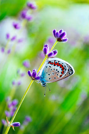 A beautiful butterfly on the lavender field, macro view, countryside life concept.