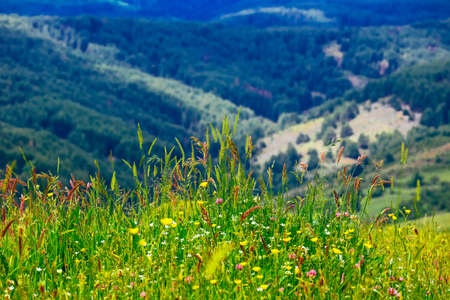 An alpine wildflowers on a field, natural rural summer background. A countryside floral backdrop.