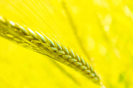 Bright colorful golden rye spikes on the  wheat ears field, close up view.