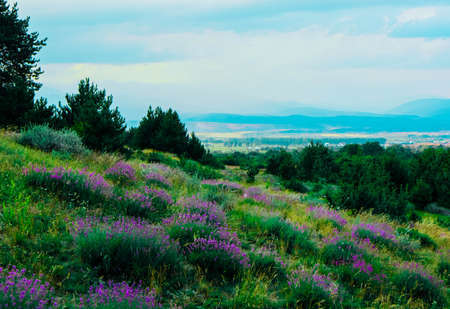 Beautiful violet wild lavender meadow landscape. A field of purple lavandula herbs blooming in a french provence.