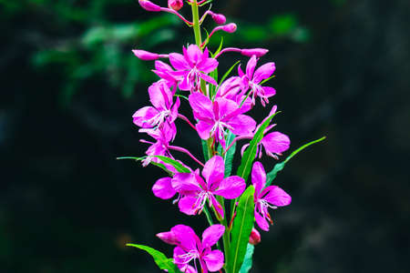 Violet blooming Sally flower closeup, willow-herb wild forest plant. Stock Photo