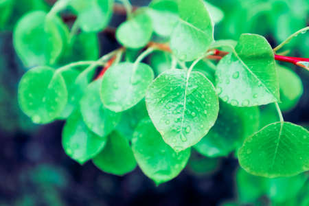 photo depicts bright colorful green fresh leaves with dew drops. Springtime, new leaves with raindrops of water on it. Close up, macro view.