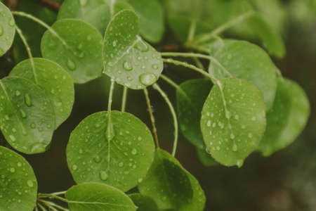 Springtime, new leaves with raindrops of water on it.