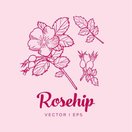 Vector outline detailed illustration of the rosehip flower, leaves and a dog-rose fruit. Dog rose plant sketch.