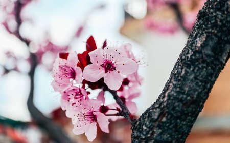 Pink petal flowers, cherry tree blossom. Springtime in Japan.
