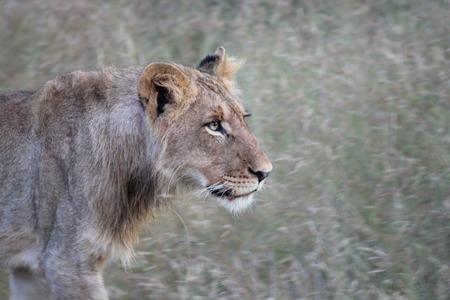 stalking: Lion Stalking
