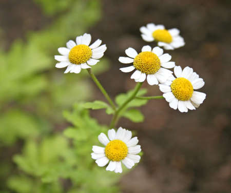 Herb camomiles on a green meadow Stock Photo - 1268460