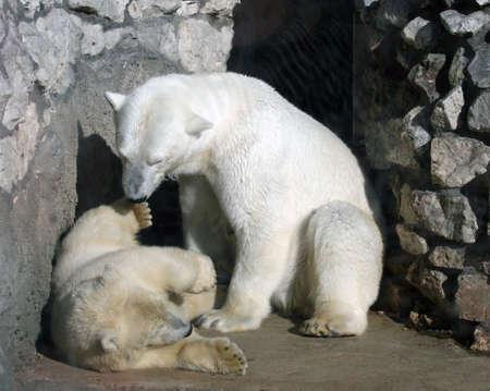 ni�o abrigado: Dos osos polares que juegan en la roca Foto de archivo