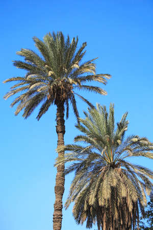 Tropical palm trees with rich crowns over deep blue sky photo