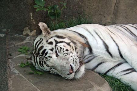 White tiger having siesta and sleeping Stock Photo - 2373608