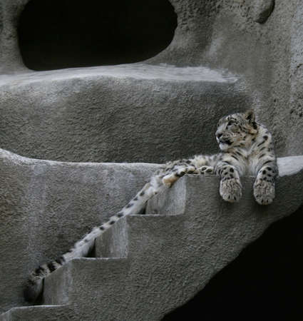 snow leopard: Snow leopard lying on the rock Stock Photo