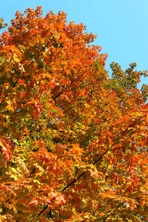 seasonality: Colorful autumn tree in a park
