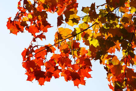 seasonality: Colorful and bright maple leaves background, autumn scenics
