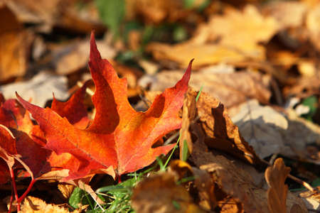 seasonality: Fallen bright maple leaf, autumnal background