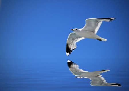 soar: Gaviota volando en el cielo azul y el reflejo en el agua