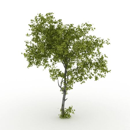 stately: Isolated summer tree with  foliage