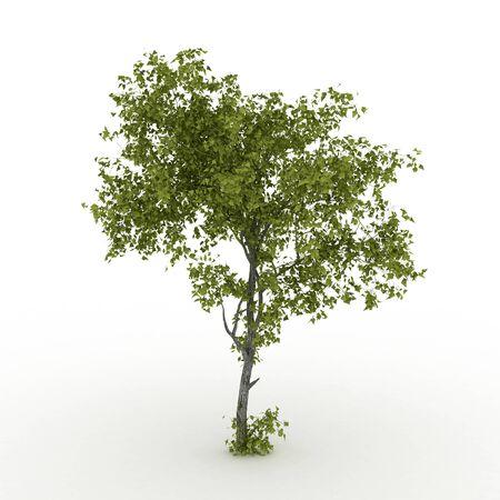 Isolated summer tree with  foliage Stock Photo - 17681850
