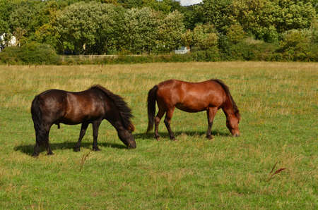 The pair of beautiful horses are feeding on the grassy